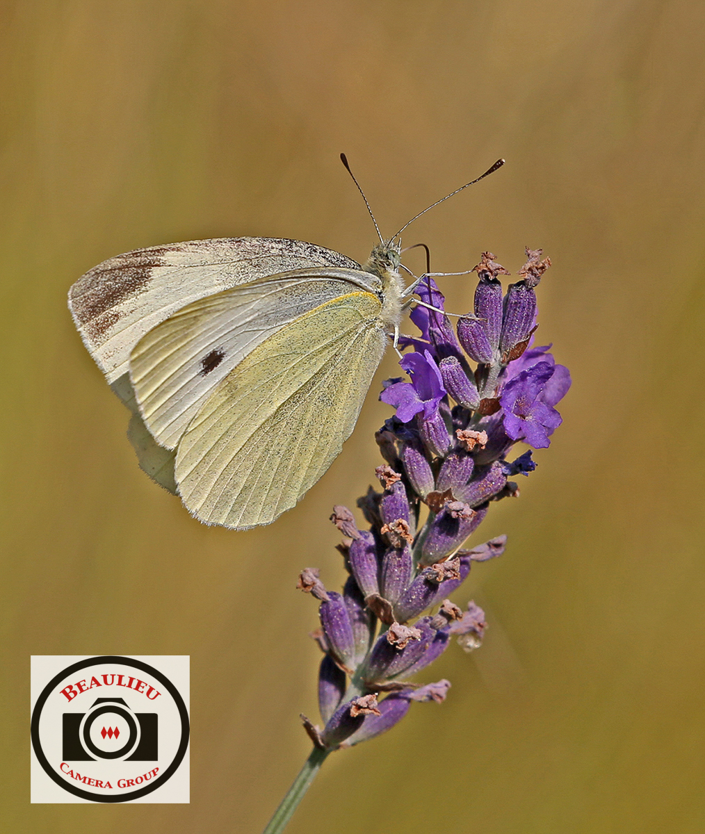 Jacky Daniel Small White on Lavender