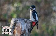 31-Maggie-White-Woodpecker-on-Stump