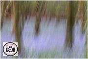 35-Edna-Phillips-Monet-Bluebells