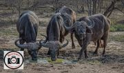 Hilary-Flaxman-African-Buffalo-Kruger-National-Park