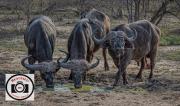 Hilary-Flaxman-African-Buffalo-Kruger-NP