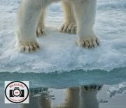 Hilary-Flaxman-Polar-Bear-Paws-Reflection
