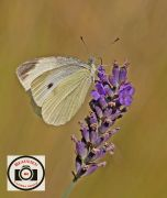 05Small-White-on-LavenderJD