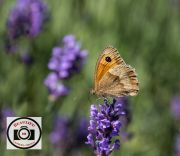 Sue-Dunham-Meadow-Brown-on-Lavender