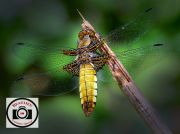 Allan-Orme-Broad-bodied-Chaser