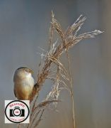 Jacky-Daniel-Female-Bearded-Reedling