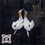 Jo-Lock-Pair-Bonding-Gannets