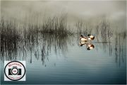 Maggie-White-Marsh-Mist-and-Shelducks