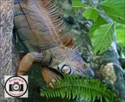 Jo-Lock-Spiny-Iguana