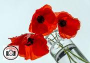 8-Neil-Hardy-High-Key-Poppies