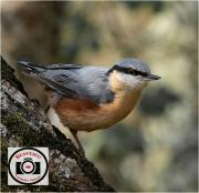Maggie-White-Curious-Nuthatch-95