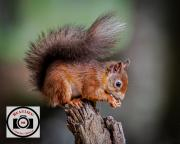 Ian-Hutchinson-Red-Squirrel