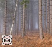 Bob-Abbott-Foggy-Woodland