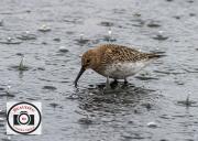 Ian-Hutchinson-Rainy-Day-Dunlin