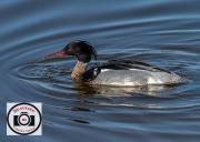 Red-Breasted-Merganser-an-Hutchinson