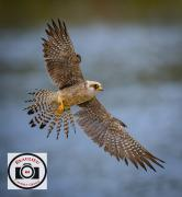 Red-footed-Falcon-with-Snack-Paul-Gray
