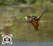Greg-Holmes-Kingfisher-Well-Caught