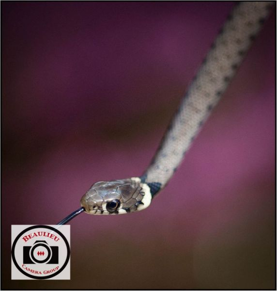 5-David-Blackeby-Grass-Snake-on-Heather