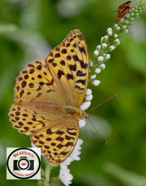 6-David-Blackeby-Silver-Washed-Fritillary-Joins-the-Party