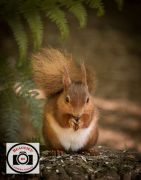 Sue-Dunham-Red-Squirrel-in-Autumn-Glow