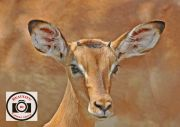 07-Jacky-Daniel-Young-Male-Impala-Kruger-National-Park