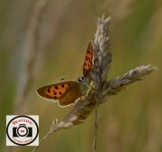 13-Allan-Orme-Small-Copper-Posing