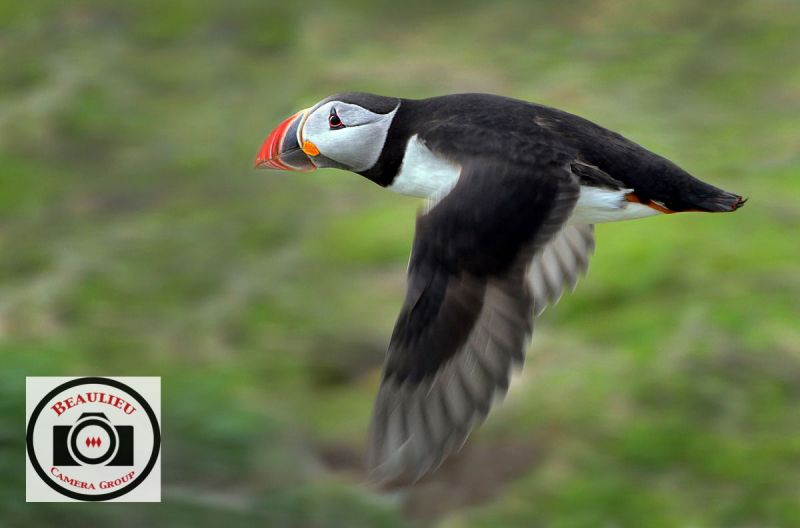 15-Allan-Orme-Low-Flying-Farne-Island-Puffin