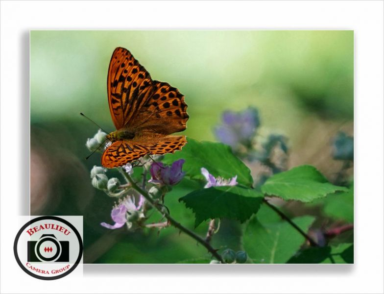 59-Maggie-White-Butterfly-in-the-Blackberry-Bush