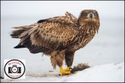 Pete-Smith-White-Tailed-Eagle