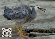 Allan-Orme-White-faced-Heron