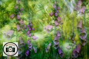 Cathryn-Baldock-Foxgloves-in-Bracken