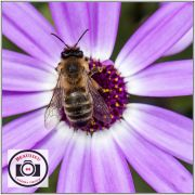 Mike-McKenna-Bee-on-Senetti-Pink-Bicolor