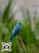 Rob-Snellgrove-Blue-Grey-Tanager
