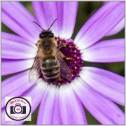 -Mike-McKenna-Bee-on-Senetti-Pink-Bicolor